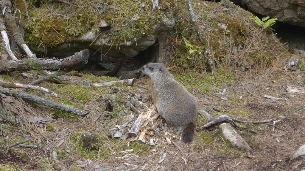 notre marmotte locale