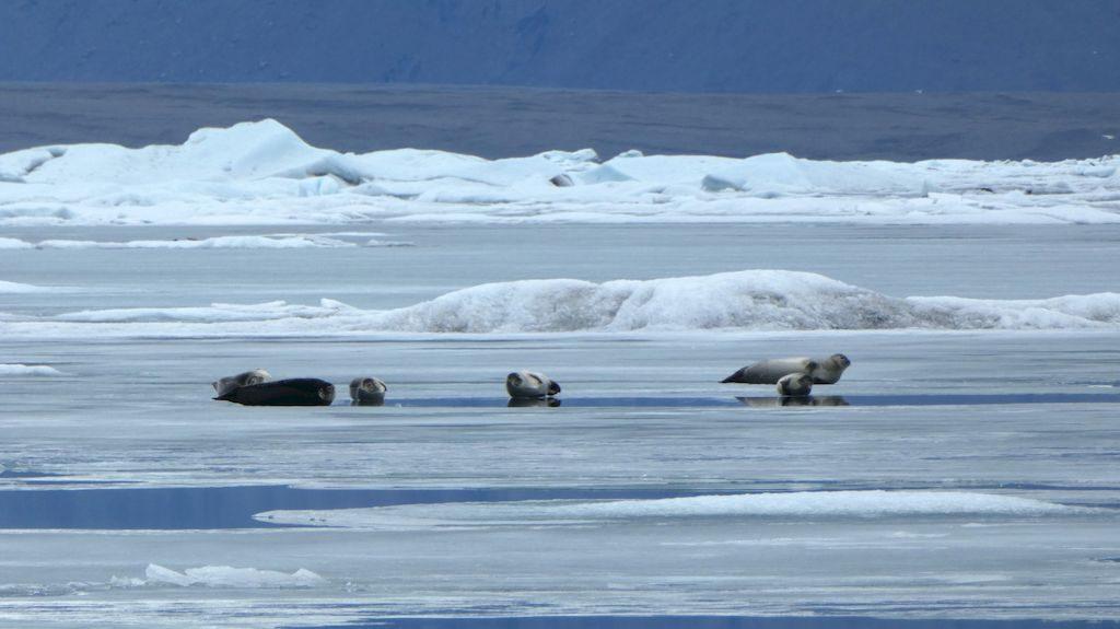 les phoques sur le lac