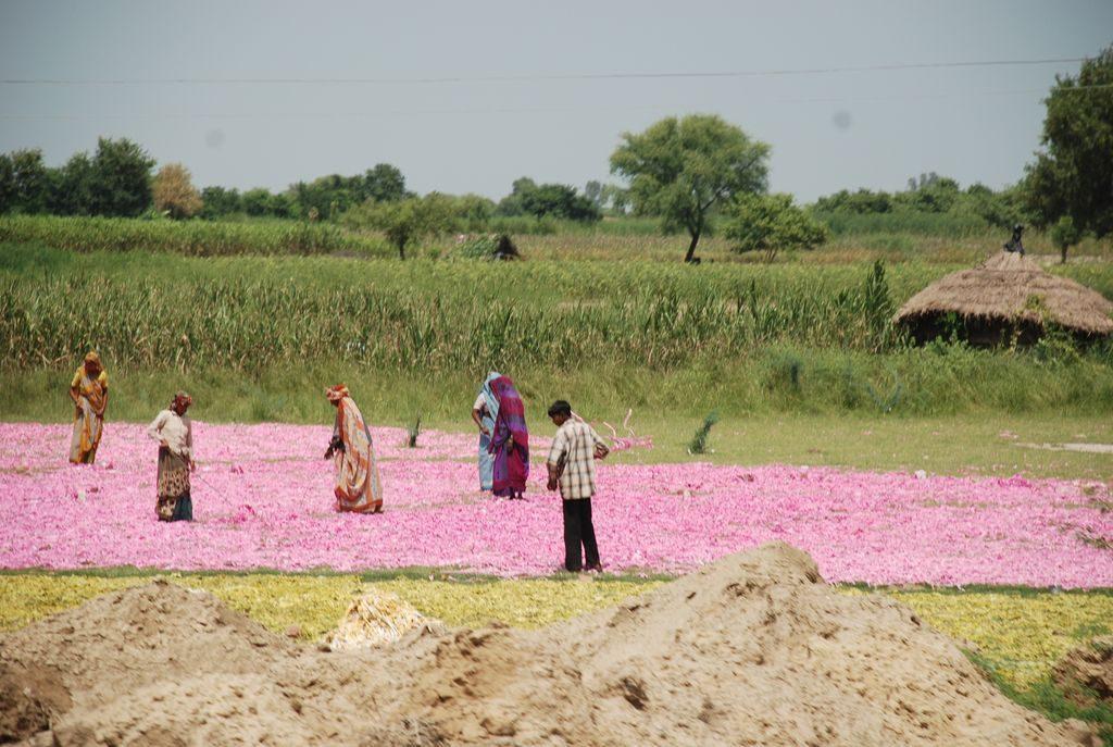 les champs de fleurs